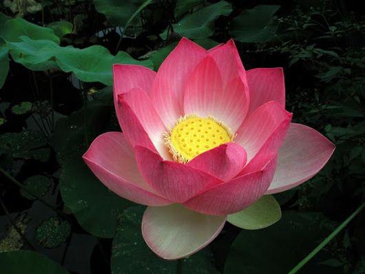 Tổng hợp hình ảnh Hoa sen đẹp