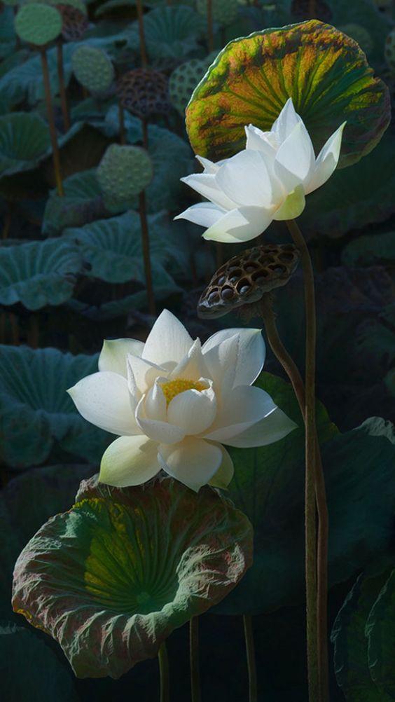 Tổng hợp hình ảnh hoa sen trắng đẹp
