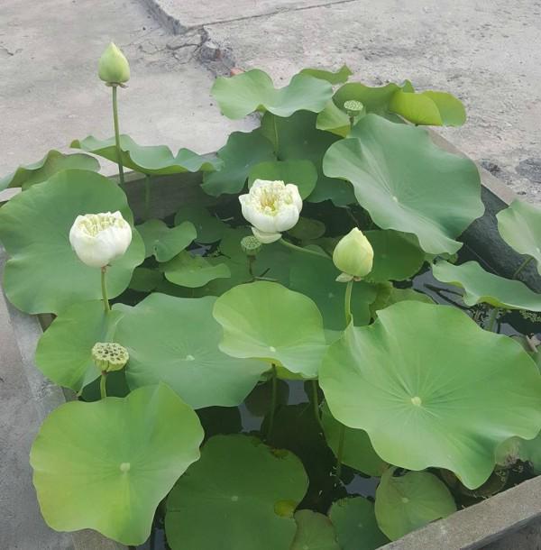 Chăm sóc cây sen trắng nở hoa không quá khó như nhiều bạn tưởng tượng