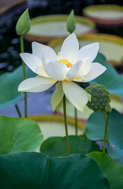 Ảnh búp sen trắng đẹp hình ảnh nụ sen trắng đẹp nhất