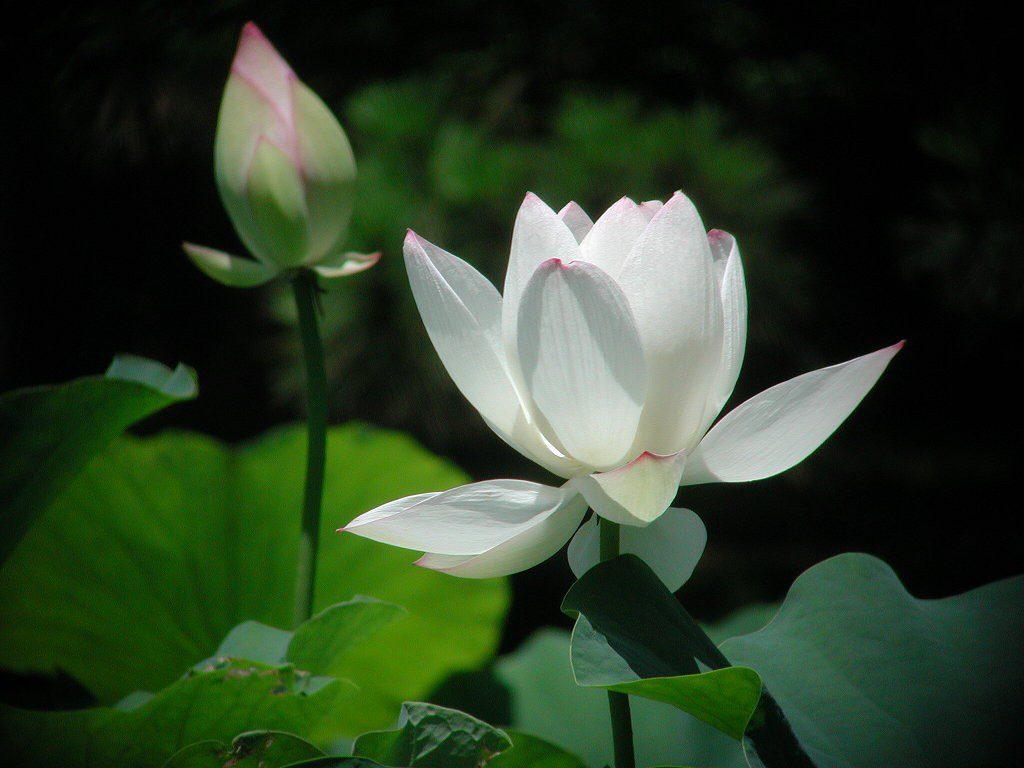 Hình ảnh hoa sen trắng đẹp