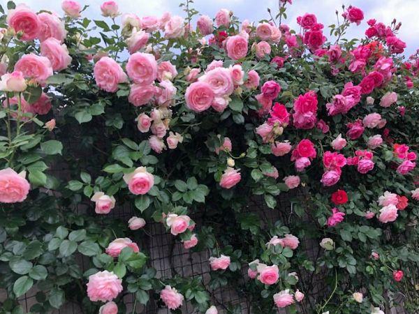 Hình ảnh hoa hông leo đỏ thẳm đẹp ở bờ rào