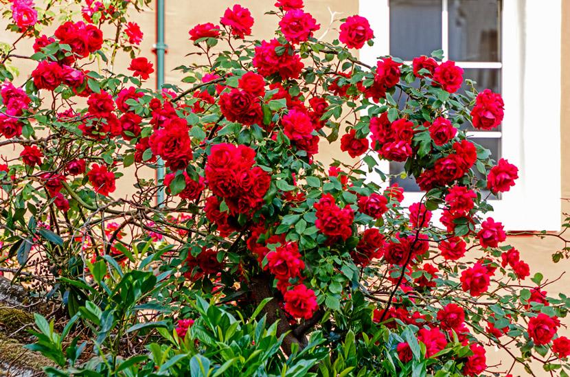 Hình ảnh hoa hông leo đỏ thẳm đẹp ở hàng rào