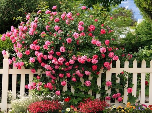 Hình ảnh hoa hông leo hồng nhạt đẹp ở hàng rào