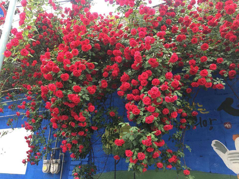 Hình ảnh hoa hông leo đỏ đẹp ở hàng rào