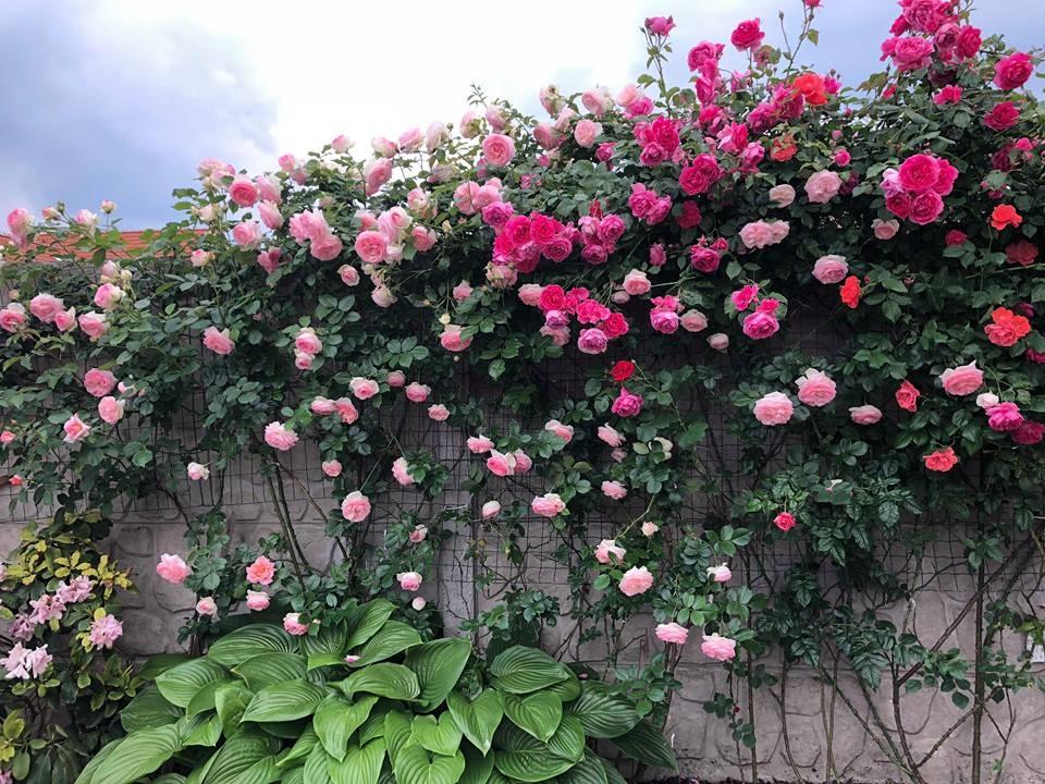 Hình ảnh hoa hông leo đẹp ở hàng rào