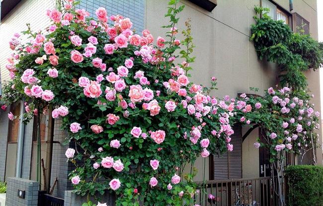 Hình ảnh hoa hông leo đẹp trồng trước nhà