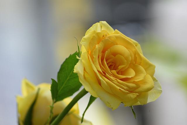Hình ảnh Hoa hồng vàng - Bông hồng vàng đẹp nhất