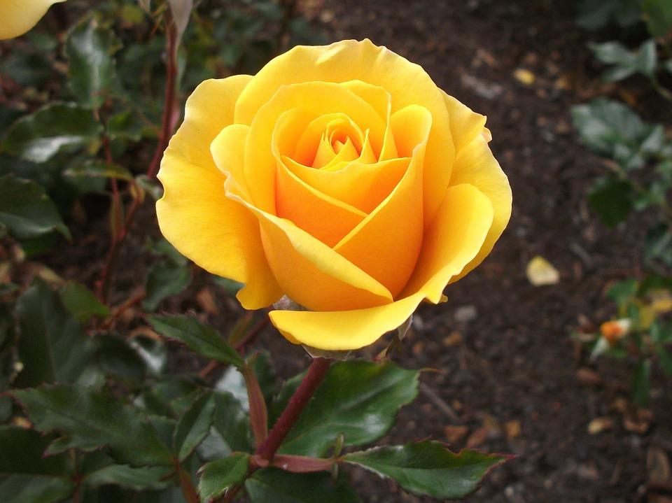 Hình ảnh Hoa hồng vàng - Hoa hồng vàng đẹp nhất làm quà tặng