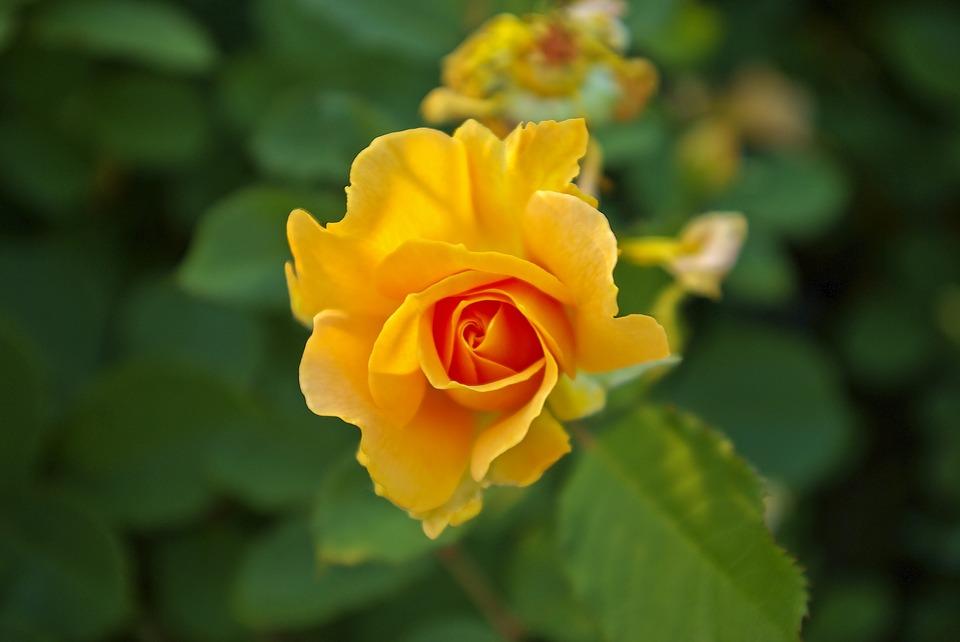 Hình ảnh Hoa hồng vàng - Hoa hồng vàng đẹp cho quà tặng