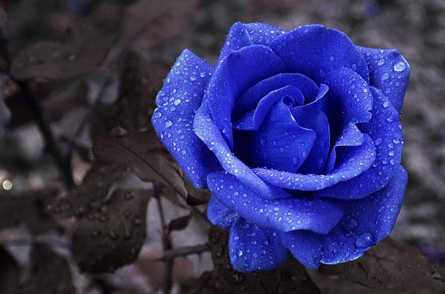 Hình ảnh Hoa hồng xanh - Bông hoa hồng xanh