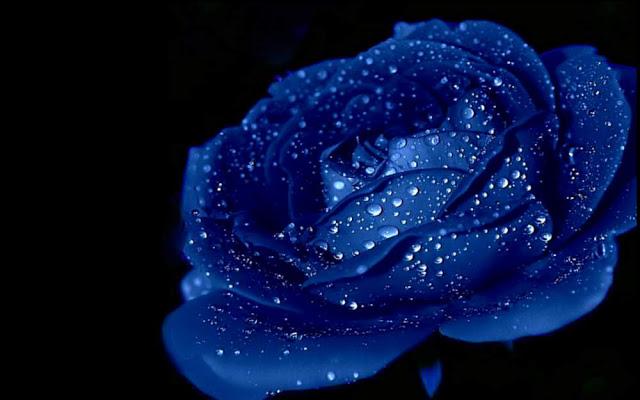 Hình ảnh Hoa hồng xanh - Bông hoa hồng xanh đẹp nhất