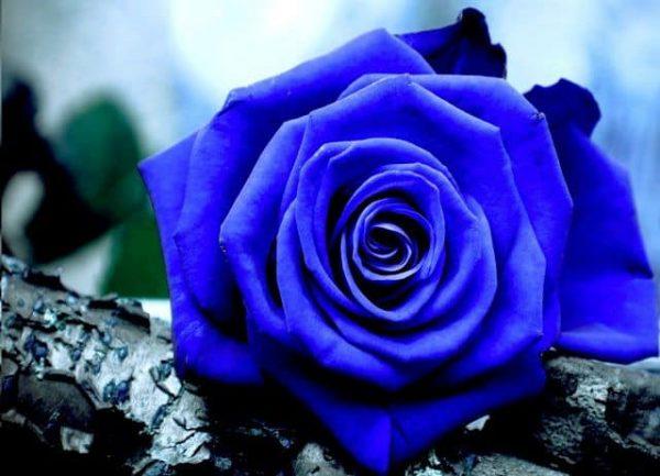 hoa hong xanh 3