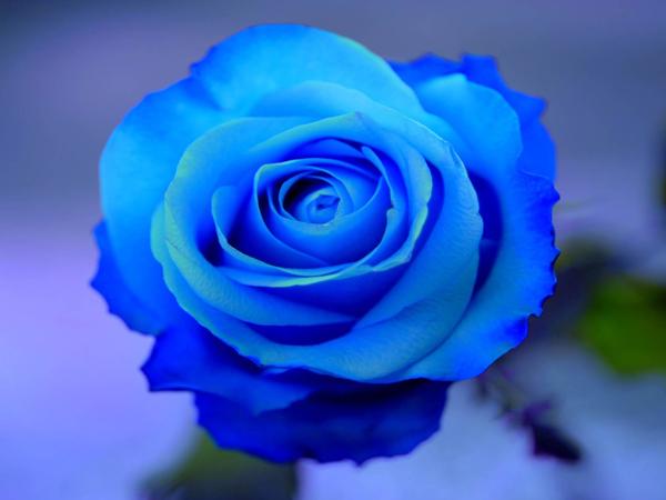 Hình ảnh Hoa hồng xanh - Bông hoa hồng xanh đẹp