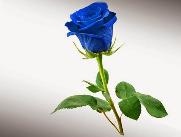 Hình ảnh Hoa hồng xanh - Cành Hoa hồng xanh đẹp