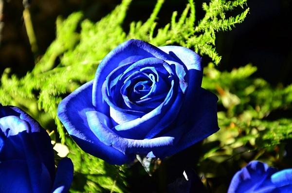 Hình ảnh Hoa hồng xanh - Hoa hồng xanh đẹp