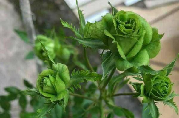 Hình ảnh Hoa hồng xanh - Hoa hồng xanh lai sinh học
