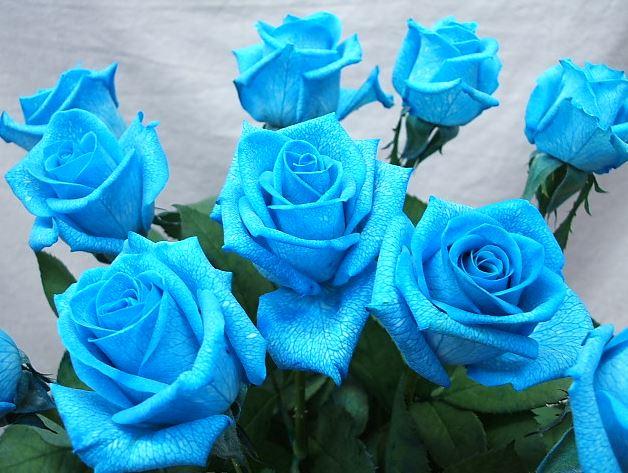 Hình ảnh hoa hồng xanh đẹp nhất
