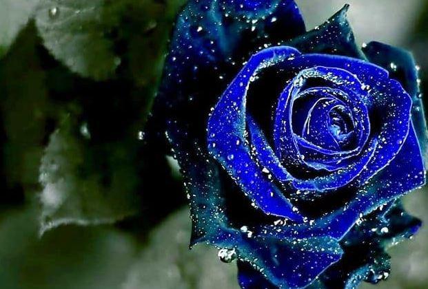 Hình nền hoa hồng xanh đẹp nhất 2019