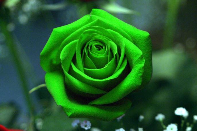 Hình ảnh hoa hồng xanh lá độc lạ