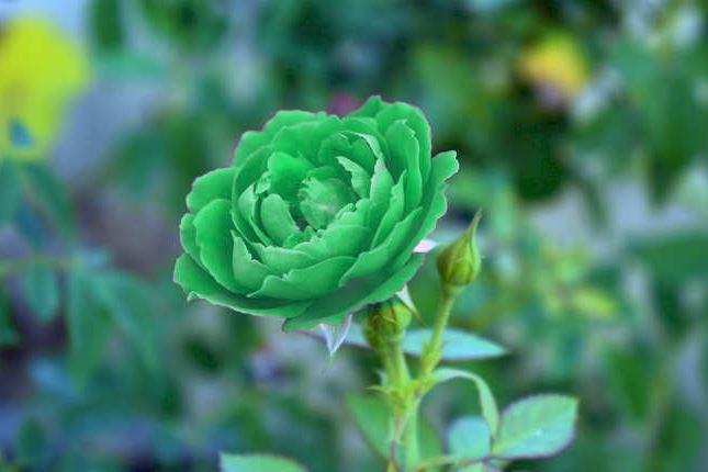 Hình ảnh hoa hồng xanh lá độc nghệ thuật