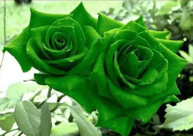Hình ảnh hoa hồng xanh lá đẹp nhất