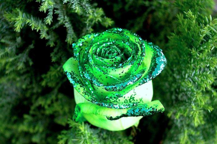 Ảnh hoa hồng xanh lá đẹp nhất