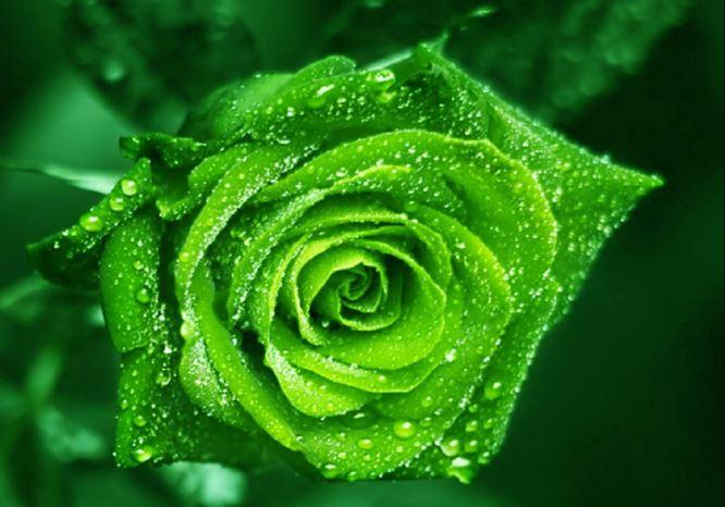 Ảnh nền hoa hồng xanh lá đẹp nhất