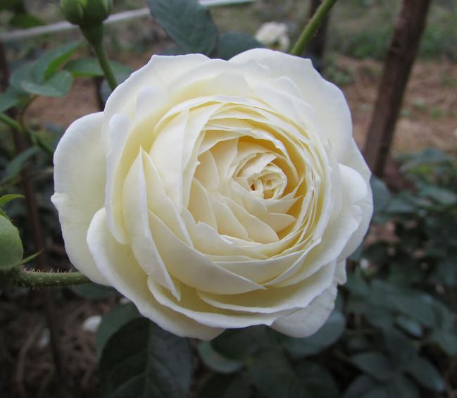 download ảnh hoa hồng trắng đẹp 2020