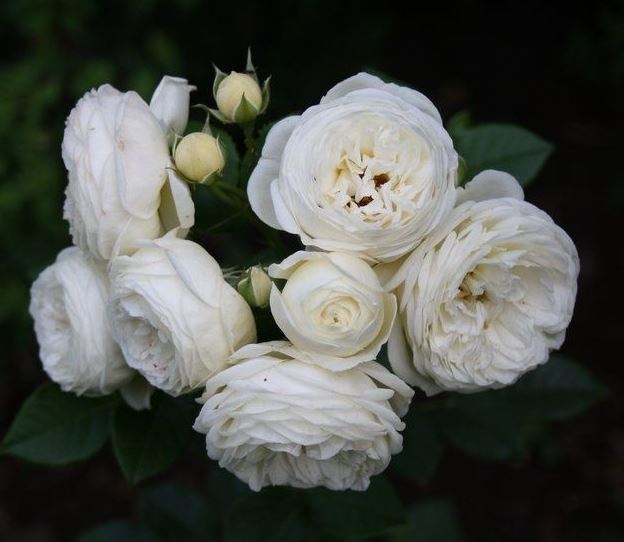 hình hoa hồng trắng đẹp 2020