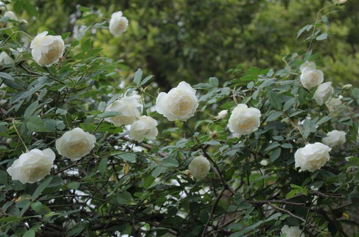hình hoa hồng trắng tự nhiên đẹp
