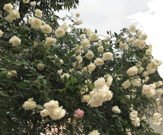hình hoa hồng trắng tự nhiên đẹp nhất