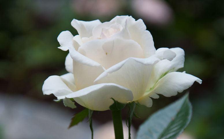 ảnh hoa hồng trắng đẹp ý nghĩa