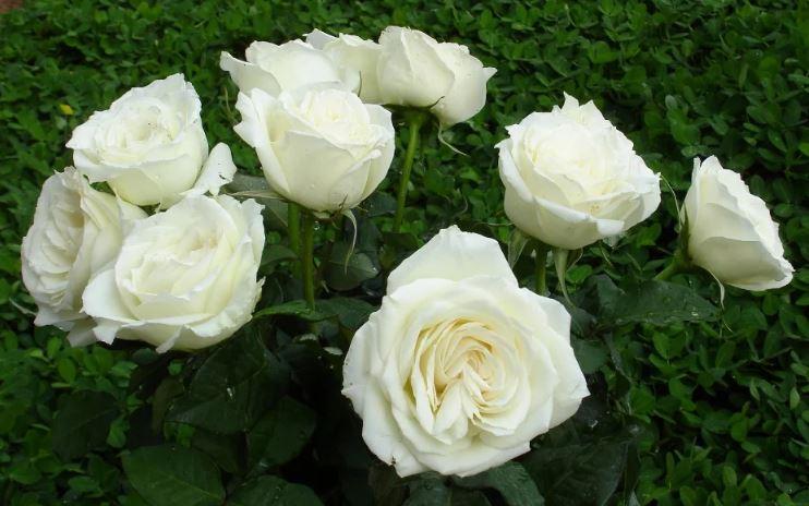 tải ảnh hoa hồng trắng đẹp ý nghĩa