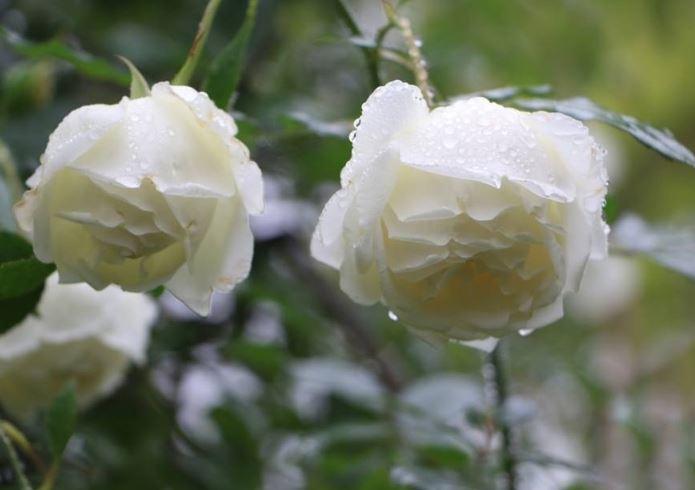hình nền hoa hồng trắng đẹp ý nghĩa
