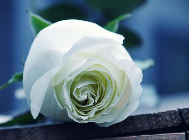 ảnh nền hoa hồng trắng đẹp ý nghĩa