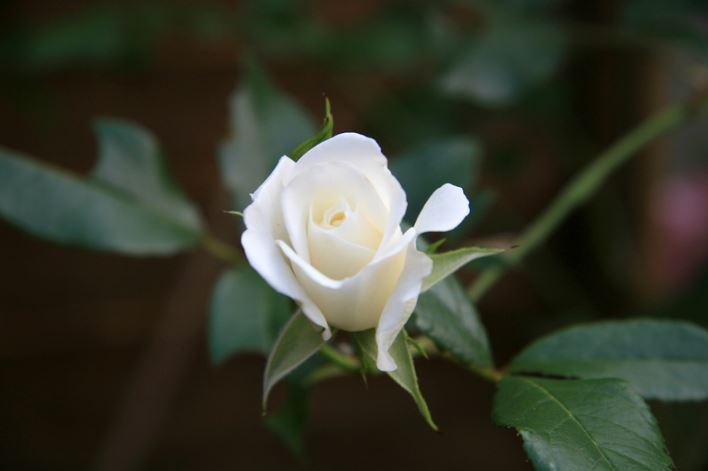 ảnh hoa hồng trắng đẹp tự nhiên