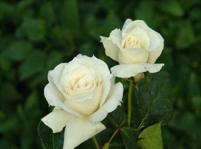 ảnh hoa hồng trắng đẹp 2020